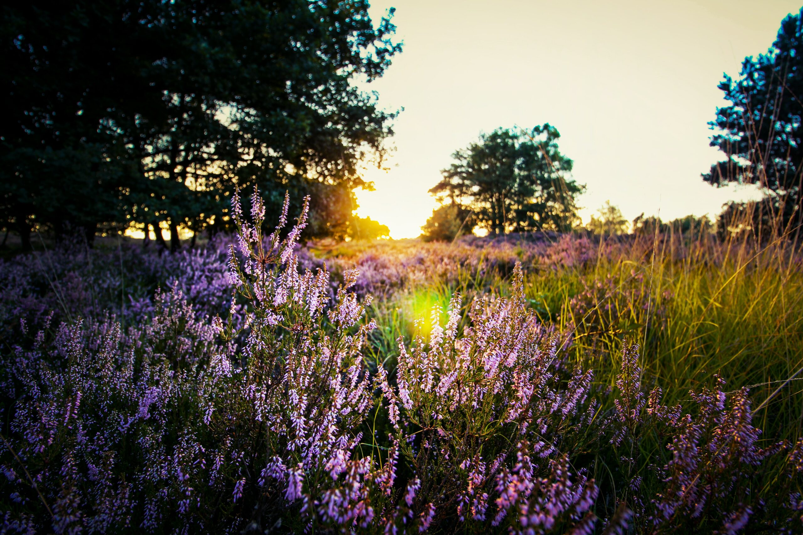 purple-lavender-on-field-during-sunset-723880